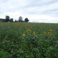 15 P1010985 Sonnenblumen